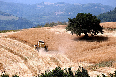 Campo di grano Gentil Rosso
